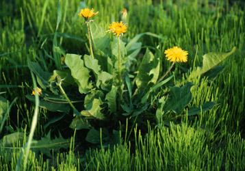 Dandelion 500tg 12172 bytes a dandelion plant in flower mightylinksfo
